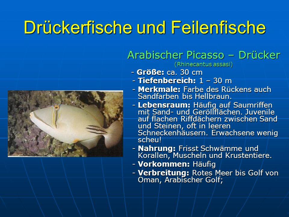 Drückerfische und Feilenfische Arabischer Picasso – Drücker (Rhinecantus assasi) - Größe: ca. 30 cm - Größe: ca. 30 cm - Tiefenbereich: 1 – 30 m - Tie