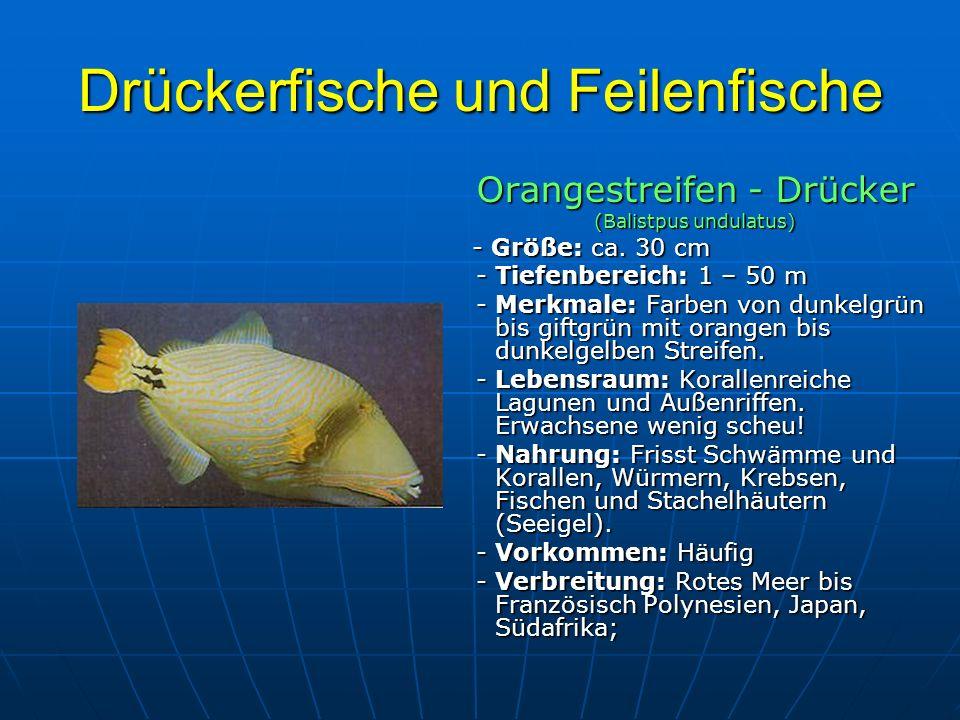 Drückerfische und Feilenfische Orangestreifen - Drücker (Balistpus undulatus) - Größe: ca. 30 cm - Größe: ca. 30 cm - Tiefenbereich: 1 – 50 m - Tiefen