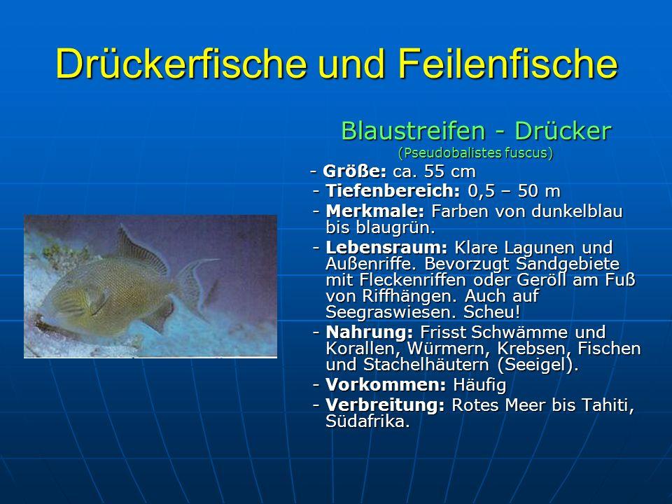 Drückerfische und Feilenfische Blaustreifen - Drücker (Pseudobalistes fuscus) - Größe: ca. 55 cm - Größe: ca. 55 cm - Tiefenbereich: 0,5 – 50 m - Tief