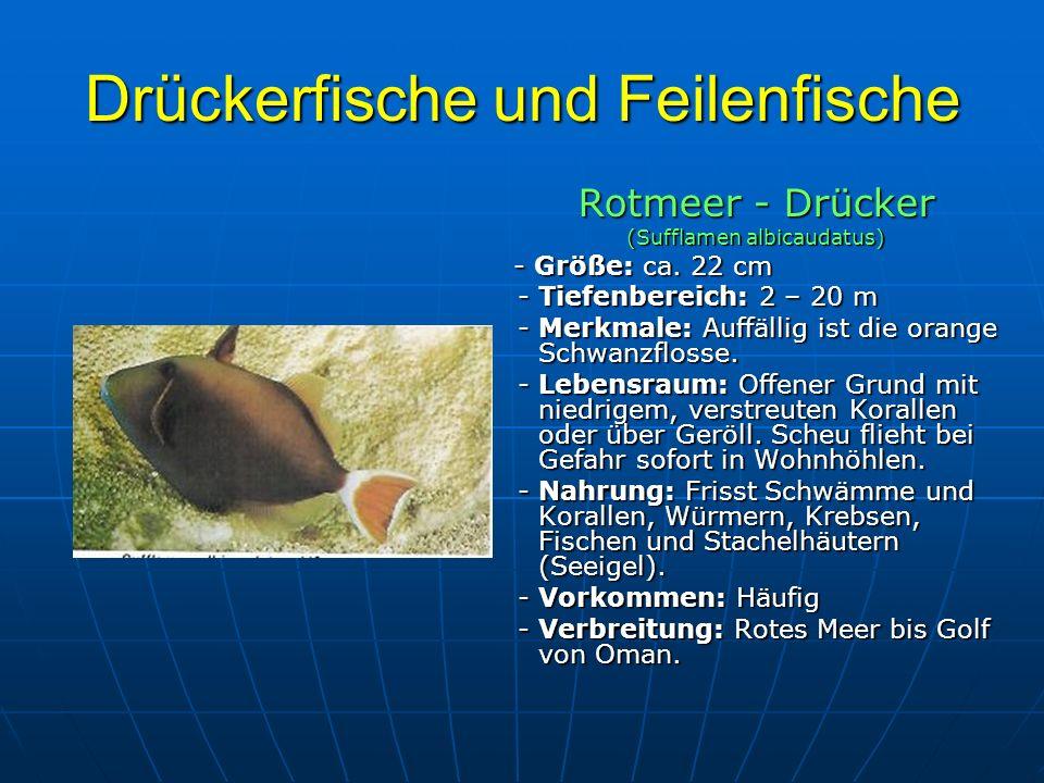 Drückerfische und Feilenfische Rotmeer - Drücker (Sufflamen albicaudatus) - Größe: ca. 22 cm - Größe: ca. 22 cm - Tiefenbereich: 2 – 20 m - Tiefenbere