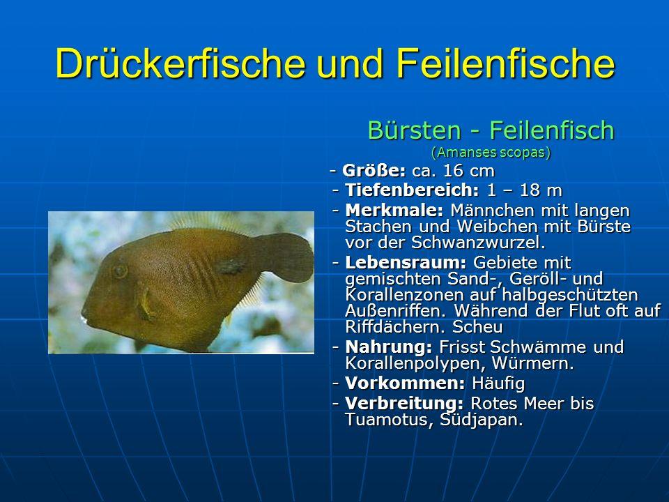 Drückerfische und Feilenfische Bürsten - Feilenfisch (Amanses scopas) - Größe: ca. 16 cm - Größe: ca. 16 cm - Tiefenbereich: 1 – 18 m - Tiefenbereich: