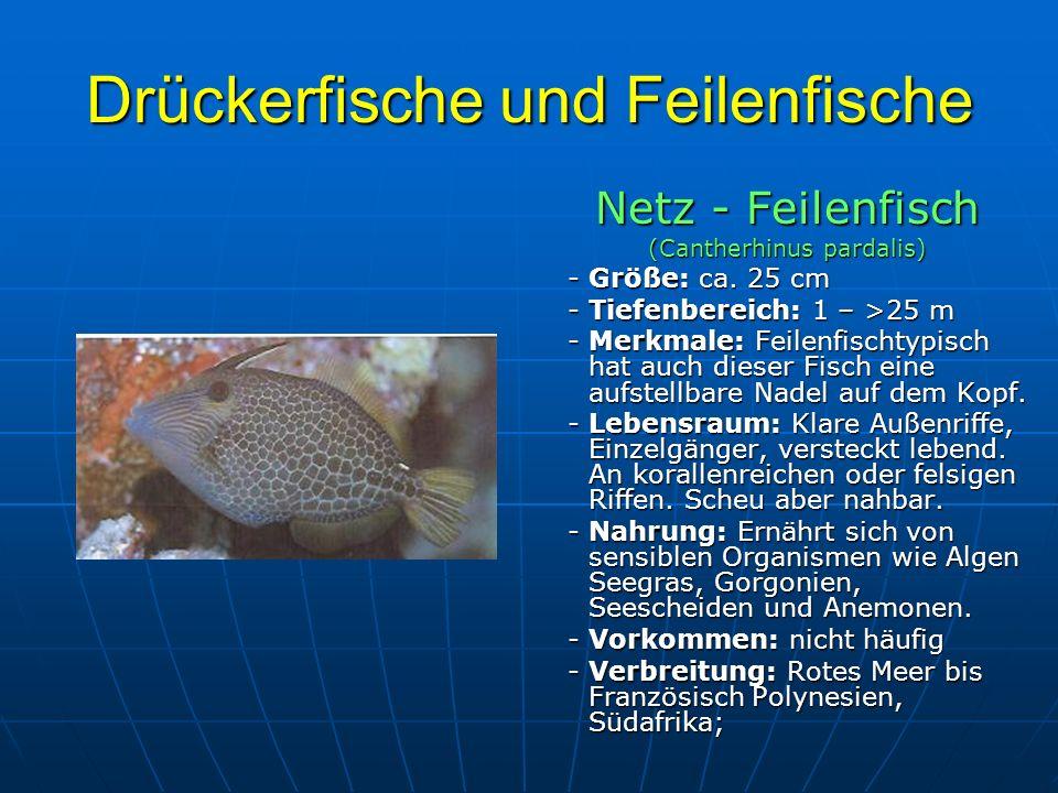 Drückerfische und Feilenfische Netz - Feilenfisch (Cantherhinus pardalis) - Größe: ca. 25 cm - Größe: ca. 25 cm - Tiefenbereich: 1 – >25 m - Tiefenber