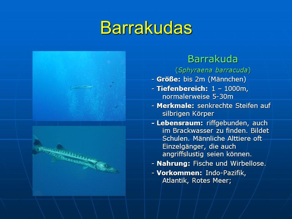 Barrakudas Barrakuda (Sphyraena barracuda) - Größe: bis 2m (Männchen) - Tiefenbereich: 1 – 1000m, normalerweise 5-30m - Merkmale: senkrechte Steifen a