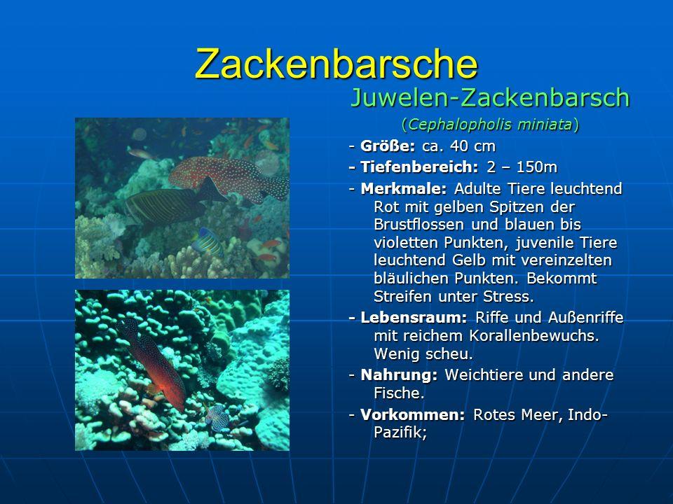 Zackenbarsche Juwelen-Zackenbarsch (Cephalopholis miniata) - Größe: ca. 40 cm - Tiefenbereich: 2 – 150m - Merkmale: Adulte Tiere leuchtend Rot mit gel