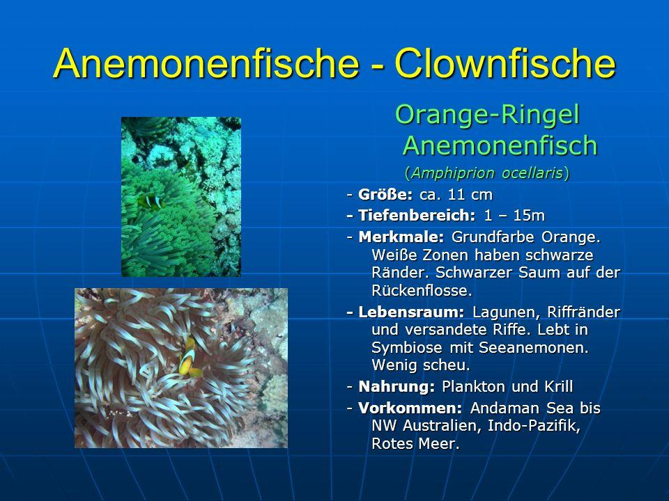 Anemonenfische - Clownfische Orange-Ringel Anemonenfisch (Amphiprion ocellaris) - Größe: ca. 11 cm - Tiefenbereich: 1 – 15m - Merkmale: Grundfarbe Ora