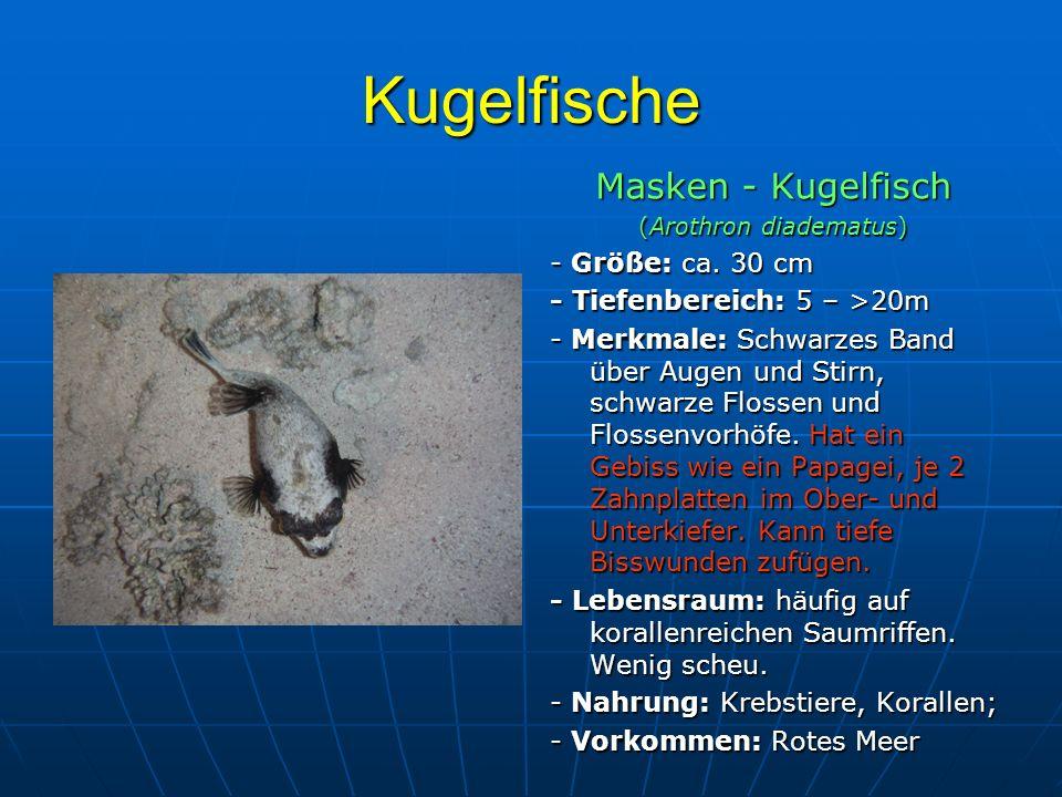 Kugelfische Masken - Kugelfisch (Arothron diadematus) - Größe: ca. 30 cm - Tiefenbereich: 5 – >20m - Merkmale: Schwarzes Band über Augen und Stirn, sc