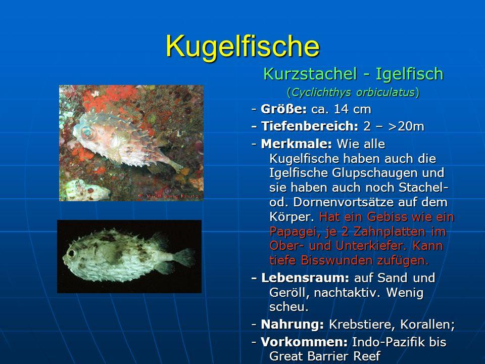 Kugelfische Kurzstachel - Igelfisch (Cyclichthys orbiculatus) - Größe: ca. 14 cm - Tiefenbereich: 2 – >20m - Merkmale: Wie alle Kugelfische haben auch