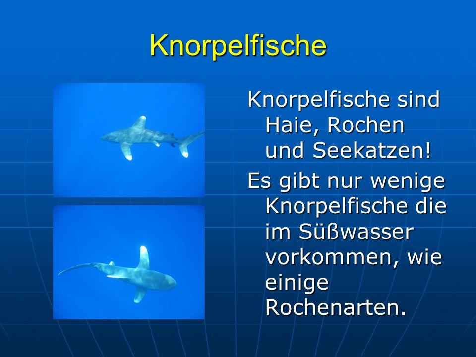 Knorpelfische Knorpelfische sind Haie, Rochen und Seekatzen! Es gibt nur wenige Knorpelfische die im Süßwasser vorkommen, wie einige Rochenarten.