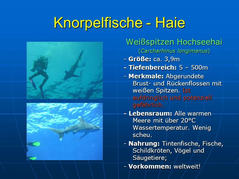 Knorpelfische - Haie Weißspitzen Hochseehai (Carcharhinus longimanus) - Größe: ca. 3,9m - Tiefenbereich: 5 – 500m - Merkmale: Abgerundete Brust- und R