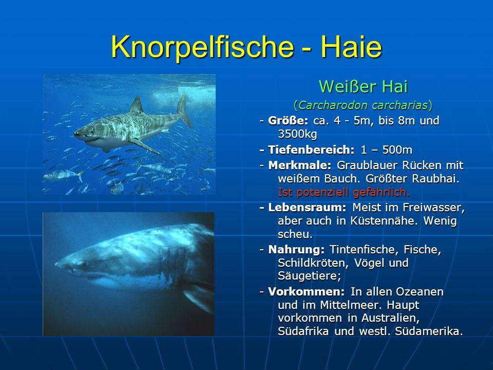 Knorpelfische - Haie Weißer Hai (Carcharodon carcharias) - Größe: ca. 4 - 5m, bis 8m und 3500kg - Tiefenbereich: 1 – 500m - Merkmale: Graublauer Rücke