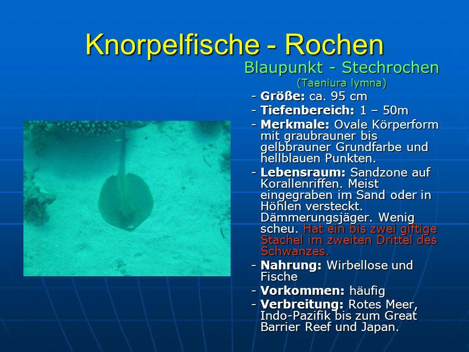 Knorpelfische - Rochen Blaupunkt - Stechrochen (Taeniura lymna) - Größe: ca. 95 cm - Größe: ca. 95 cm - Tiefenbereich: 1 – 50m - Tiefenbereich: 1 – 50