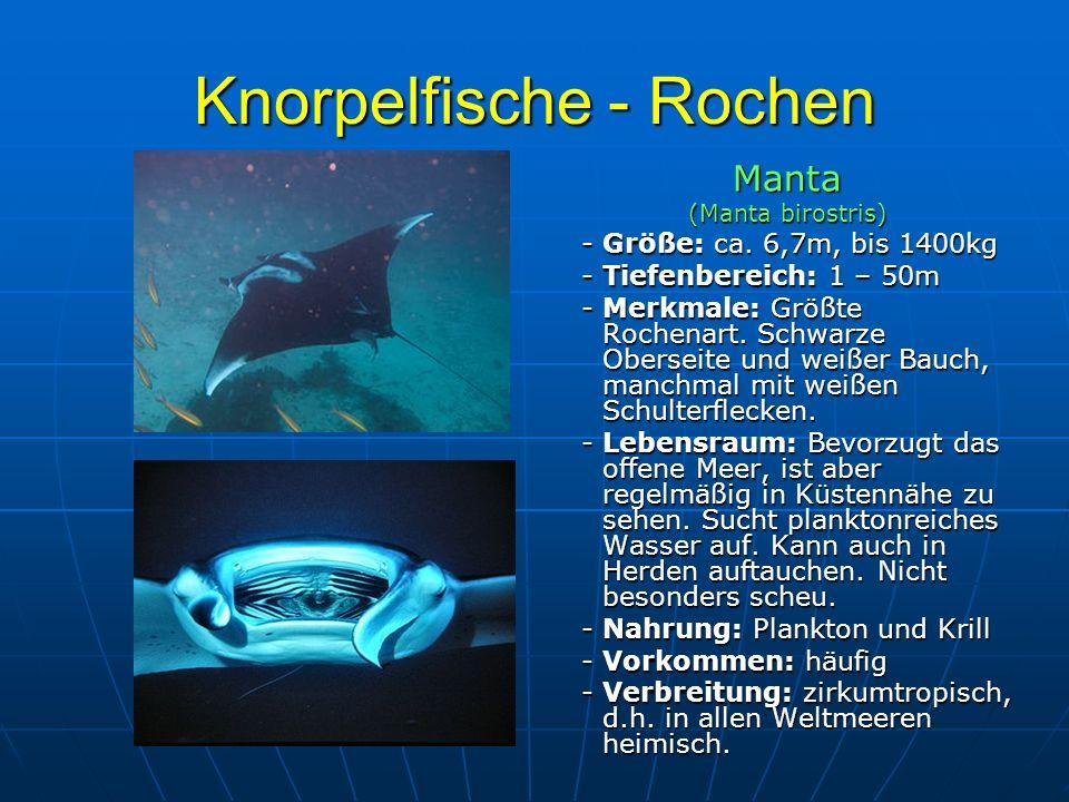 Knorpelfische - Rochen Manta (Manta birostris) - Größe: ca. 6,7m, bis 1400kg - Größe: ca. 6,7m, bis 1400kg - Tiefenbereich: 1 – 50m - Tiefenbereich: 1
