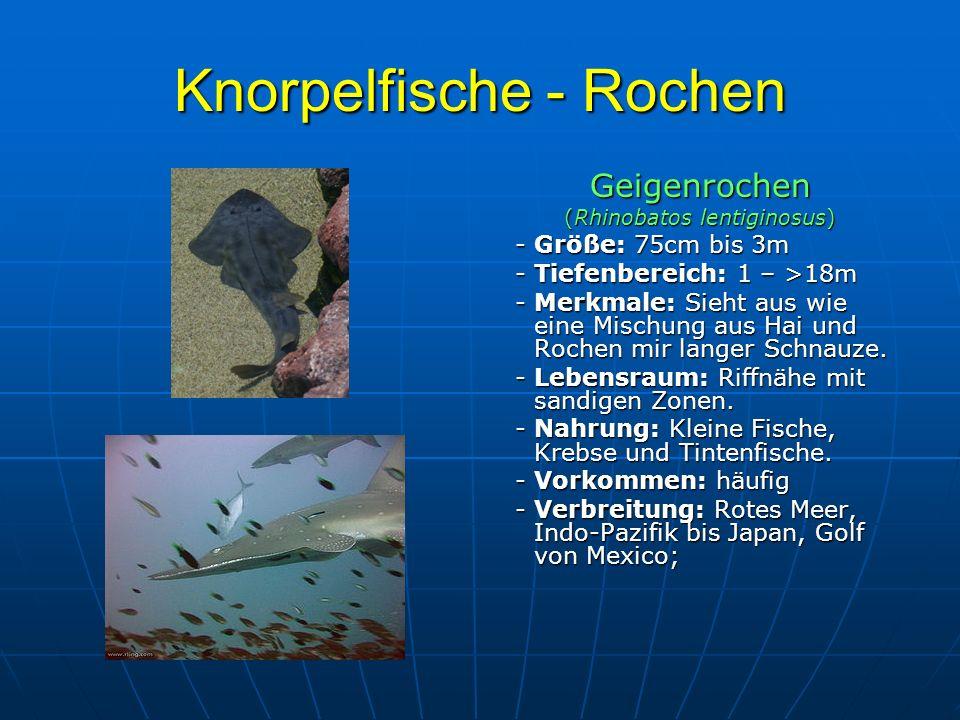 Knorpelfische - Rochen Geigenrochen (Rhinobatos lentiginosus) - Größe: 75cm bis 3m - Größe: 75cm bis 3m - Tiefenbereich: 1 – >18m - Tiefenbereich: 1 –