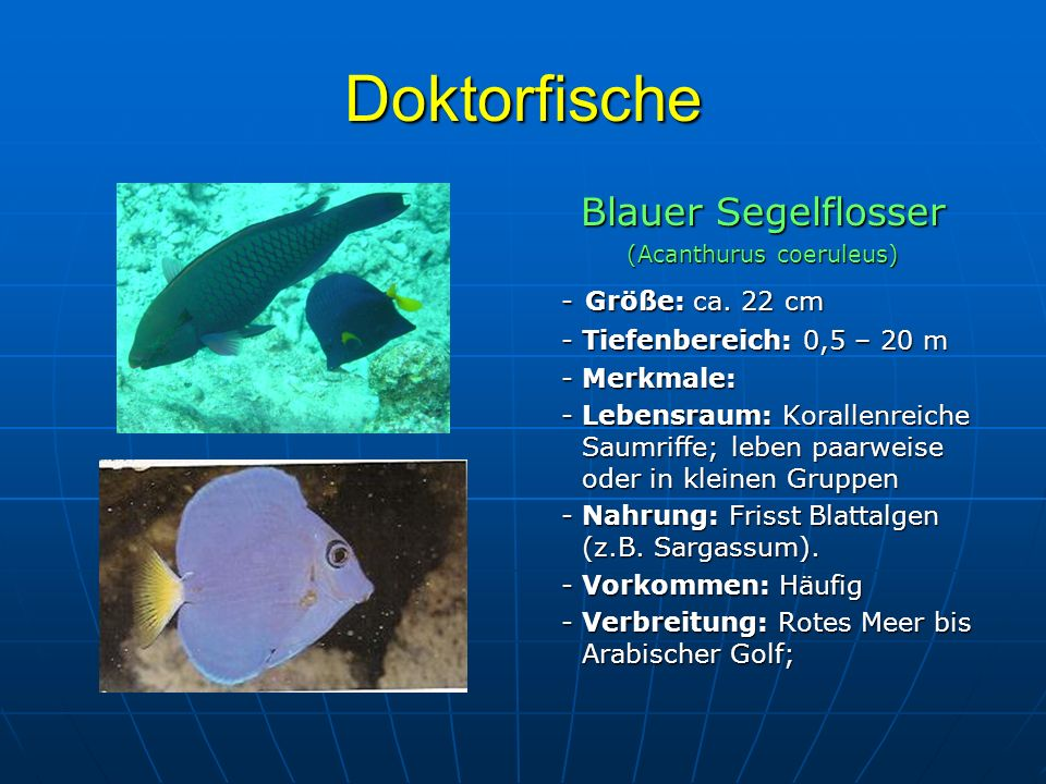 Doktorfische Blauer Segelflosser (Acanthurus coeruleus) - Größe: ca. 22 cm - Größe: ca. 22 cm - Tiefenbereich: 0,5 – 20 m - Tiefenbereich: 0,5 – 20 m