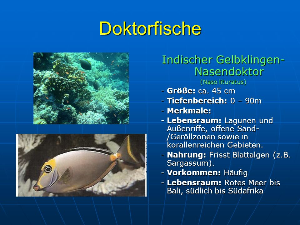 Doktorfische Indischer Gelbklingen- Nasendoktor (Naso lituratus) - Größe: ca. 45 cm - Größe: ca. 45 cm - Tiefenbereich: 0 – 90m - Tiefenbereich: 0 – 9