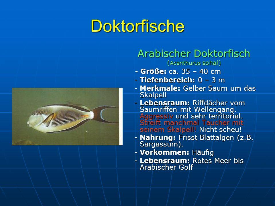 Doktorfische Arabischer Doktorfisch ( Acanthurus sohal) - Größe: ca. 35 – 40 cm - Größe: ca. 35 – 40 cm - Tiefenbereich: 0 – 3 m - Tiefenbereich: 0 –