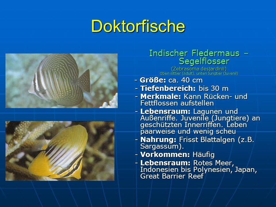 Doktorfische Indischer Fledermaus – Segelflosser (Zebrasoma desjardinii) Oben Alttier (Adult), unten Jungtier (Juvenil) - Größe: ca. 40 cm - Größe: ca