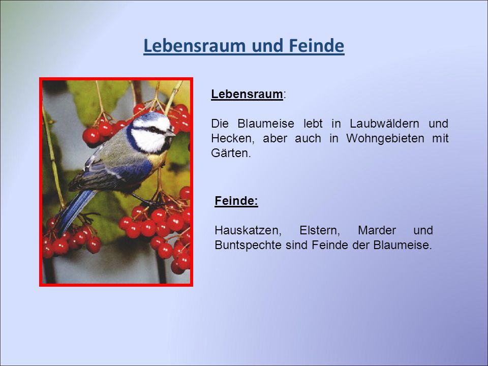 Lebensraum und Feinde Lebensraum: Die Blaumeise lebt in Laubwäldern und Hecken, aber auch in Wohngebieten mit Gärten. Feinde: Hauskatzen, Elstern, Mar