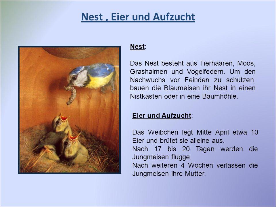 Nest, Eier und Aufzucht Nest: Das Nest besteht aus Tierhaaren, Moos, Grashalmen und Vogelfedern. Um den Nachwuchs vor Feinden zu schützen, bauen die B