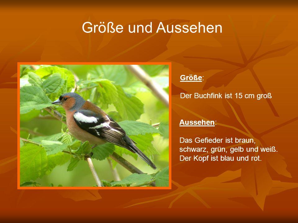Größe und Aussehen Größe: Der Buchfink ist 15 cm groß Aussehen: Das Gefieder ist braun, schwarz, grün, gelb und weiß. Der Kopf ist blau und rot.
