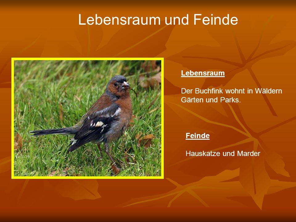 Lebensraum und Feinde Lebensraum Der Buchfink wohnt in Wäldern Gärten und Parks. Feinde Hauskatze und Marder