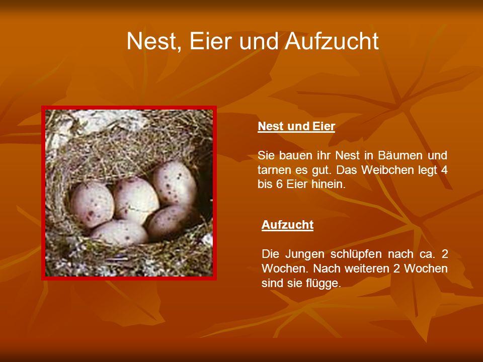 Nest, Eier und Aufzucht Nest und Eier Sie bauen ihr Nest in Bäumen und tarnen es gut. Das Weibchen legt 4 bis 6 Eier hinein. Aufzucht Die Jungen schlü