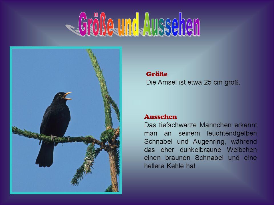 Lebensraum Die Amsel war früher ein Waldvogel, doch heute ist sie überall anzutreffen, häufig in Wäldern, Parks, Gärten, Dörfern und Städten.
