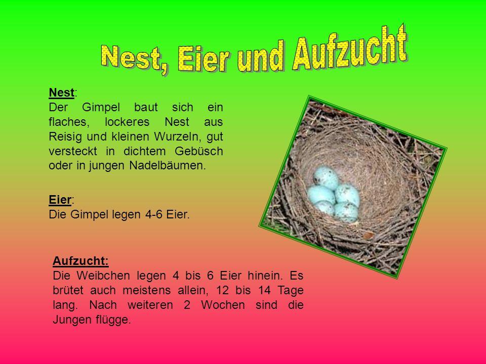 Nest: Der Gimpel baut sich ein flaches, lockeres Nest aus Reisig und kleinen Wurzeln, gut versteckt in dichtem Gebüsch oder in jungen Nadelbäumen. Eie
