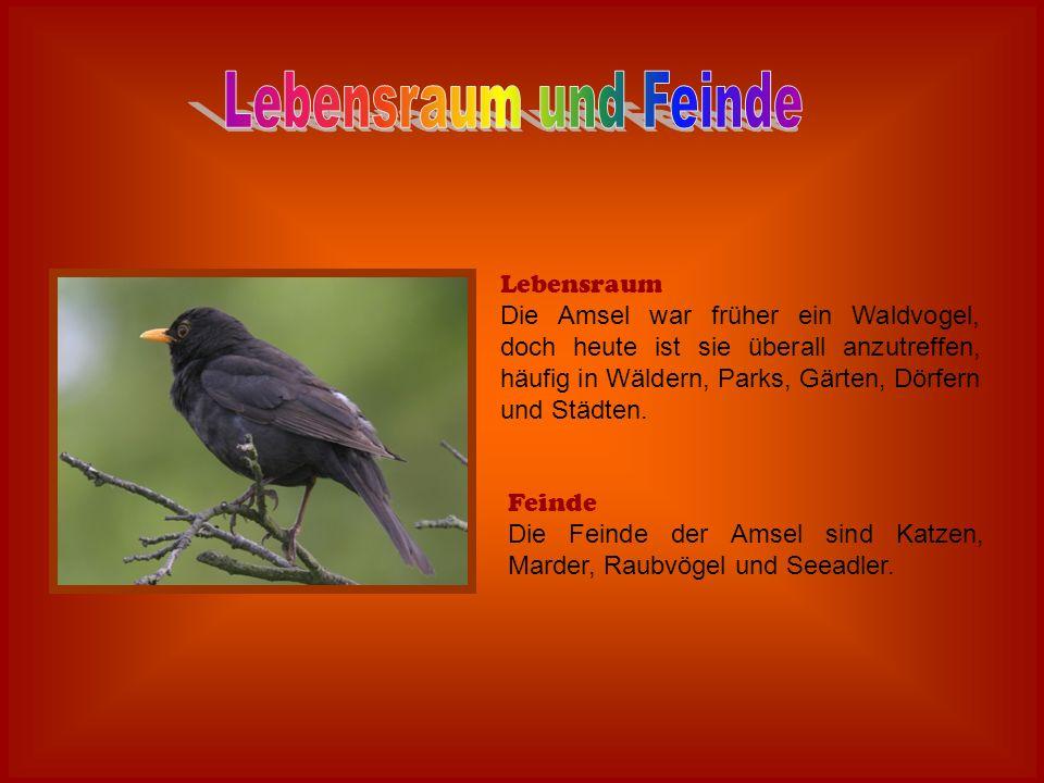 Lebensraum Die Amsel war früher ein Waldvogel, doch heute ist sie überall anzutreffen, häufig in Wäldern, Parks, Gärten, Dörfern und Städten. Feinde D