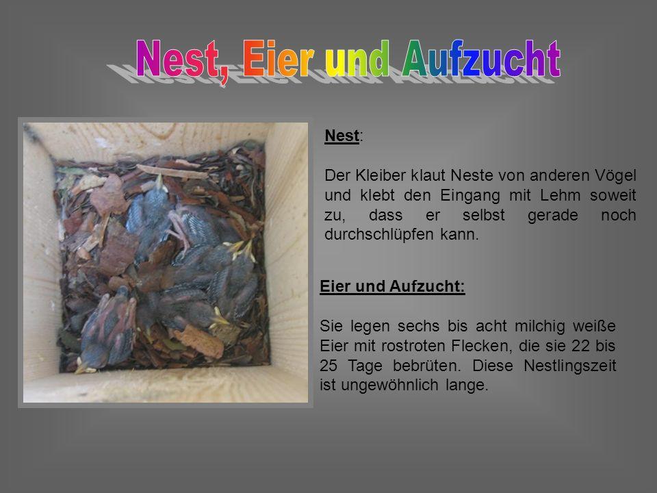 Nest: Der Kleiber klaut Neste von anderen Vögel und klebt den Eingang mit Lehm soweit zu, dass er selbst gerade noch durchschlüpfen kann. Eier und Auf