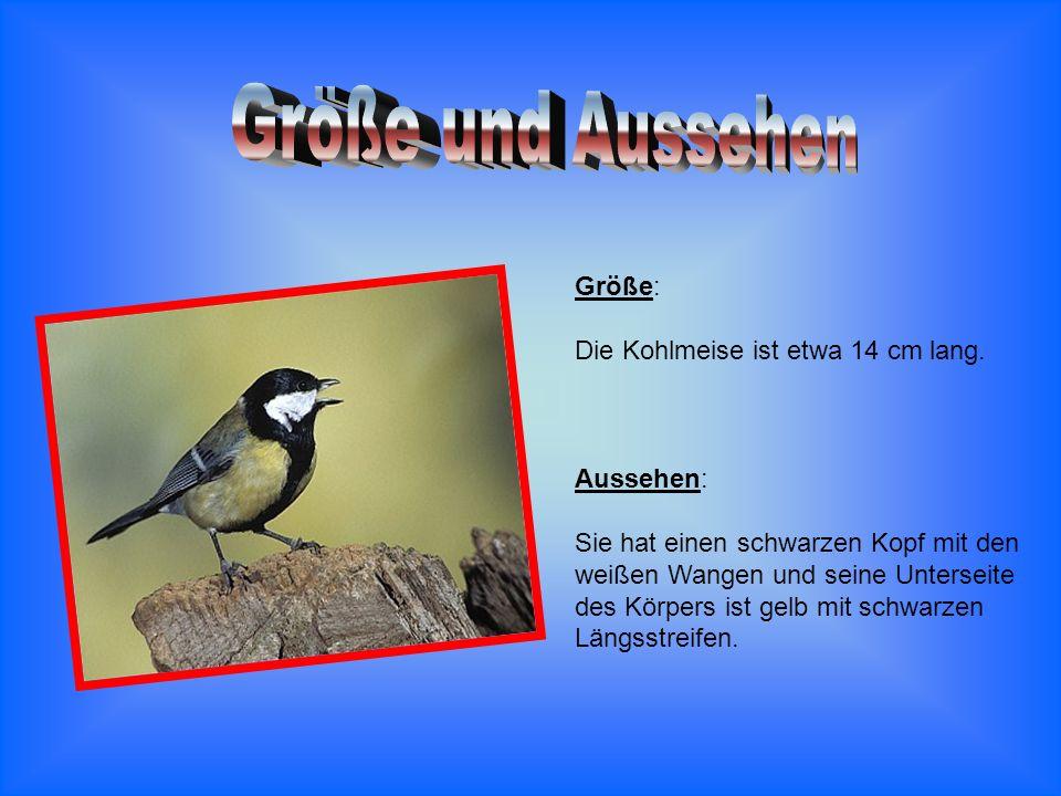 Größe: Die Kohlmeise ist etwa 14 cm lang. Aussehen: Sie hat einen schwarzen Kopf mit den weißen Wangen und seine Unterseite des Körpers ist gelb mit s