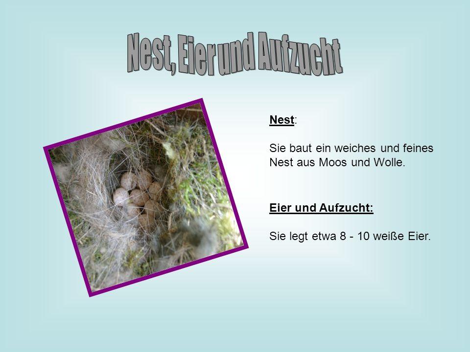 Nest: Sie baut ein weiches und feines Nest aus Moos und Wolle. Eier und Aufzucht: Sie legt etwa 8 - 10 weiße Eier.