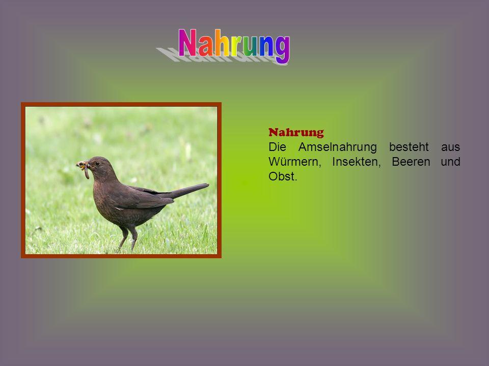Nest: Sie benutzen gern Nistkästen, die ihnen von Menschen zur Verfügung gestellt werden.