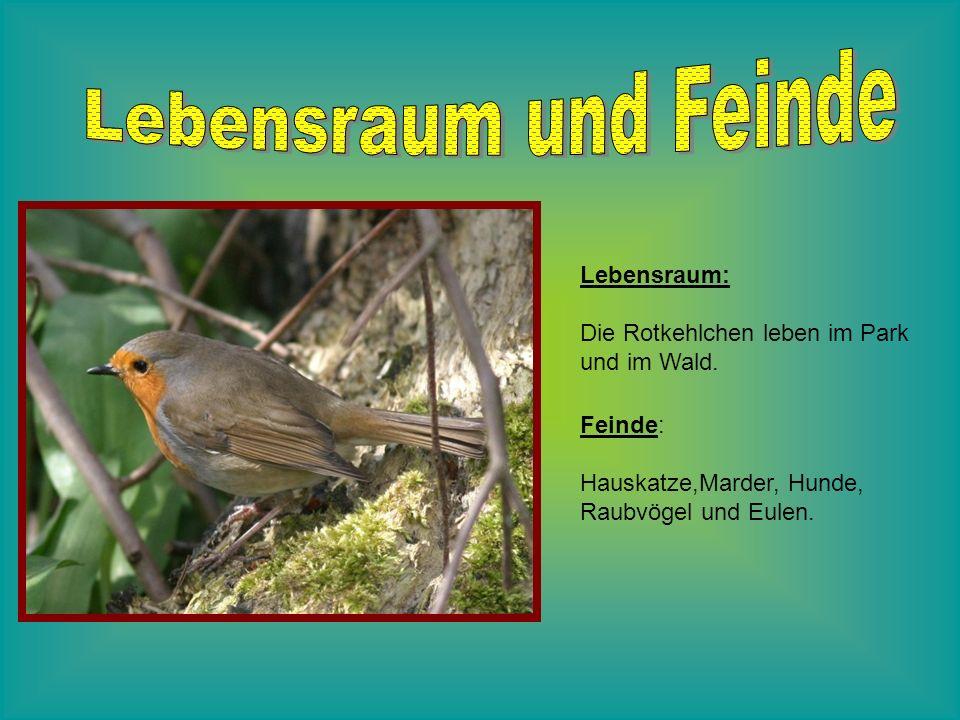 Lebensraum: Die Rotkehlchen leben im Park und im Wald. Feinde: Hauskatze,Marder, Hunde, Raubvögel und Eulen.
