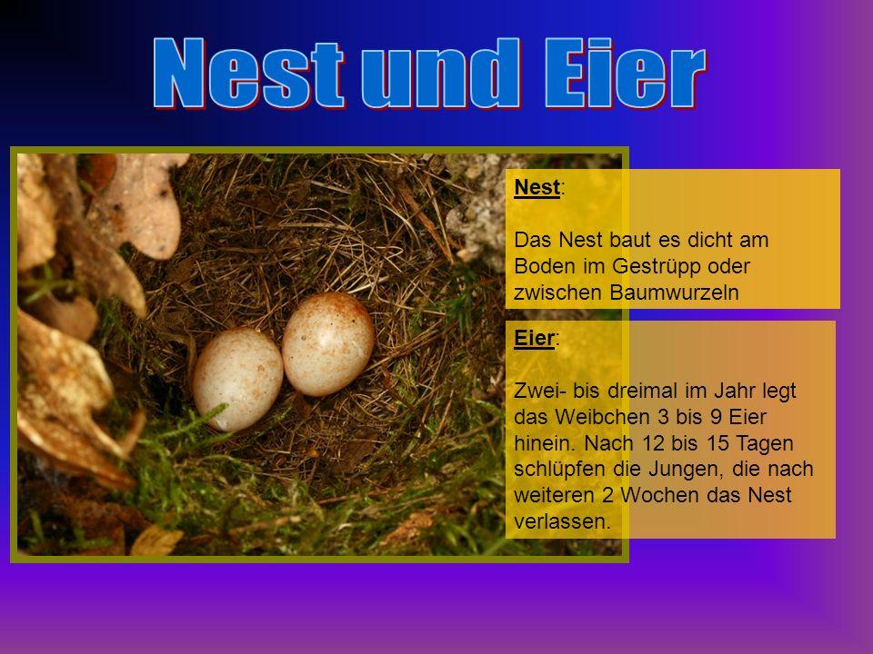 Nest: Das Nest baut es dicht am Boden im Gestrüpp oder zwischen Baumwurzeln Eier: Zwei- bis dreimal im Jahr legt das Weibchen 3 bis 9 Eier hinein. Nac