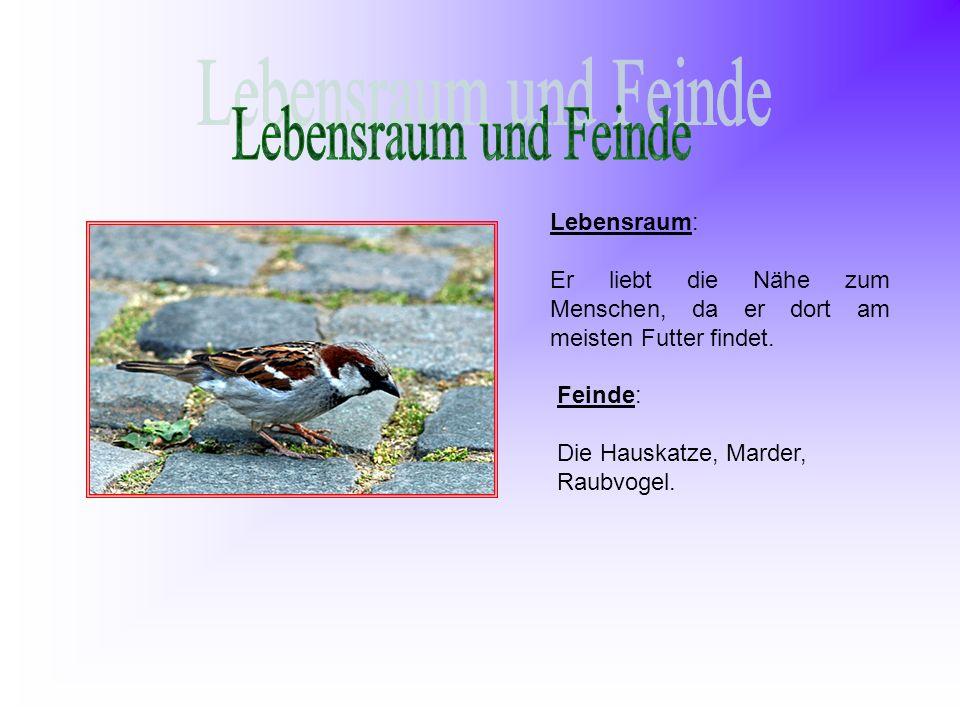 Lebensraum: Er liebt die Nähe zum Menschen, da er dort am meisten Futter findet. Feinde: Die Hauskatze, Marder, Raubvogel.