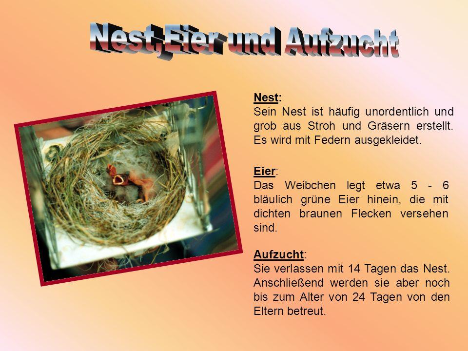 Nest: Sein Nest ist häufig unordentlich und grob aus Stroh und Gräsern erstellt. Es wird mit Federn ausgekleidet. Eier: Das Weibchen legt etwa 5 - 6 b