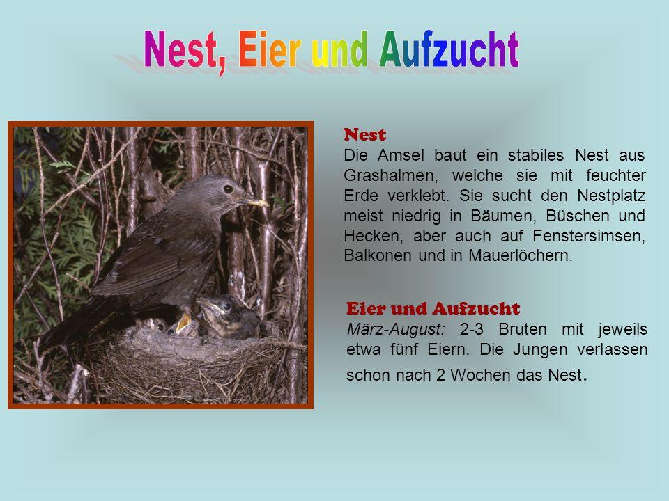 Nest Die Amsel baut ein stabiles Nest aus Grashalmen, welche sie mit feuchter Erde verklebt. Sie sucht den Nestplatz meist niedrig in Bäumen, Büschen