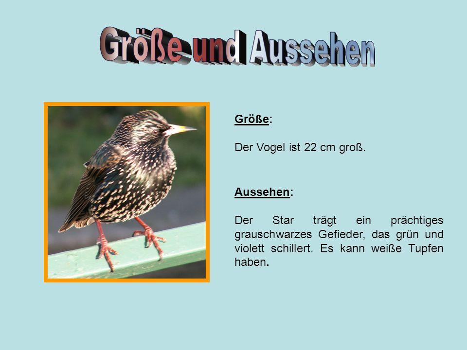 Größe: Der Vogel ist 22 cm groß. Aussehen: Der Star trägt ein prächtiges grauschwarzes Gefieder, das grün und violett schillert. Es kann weiße Tupfen