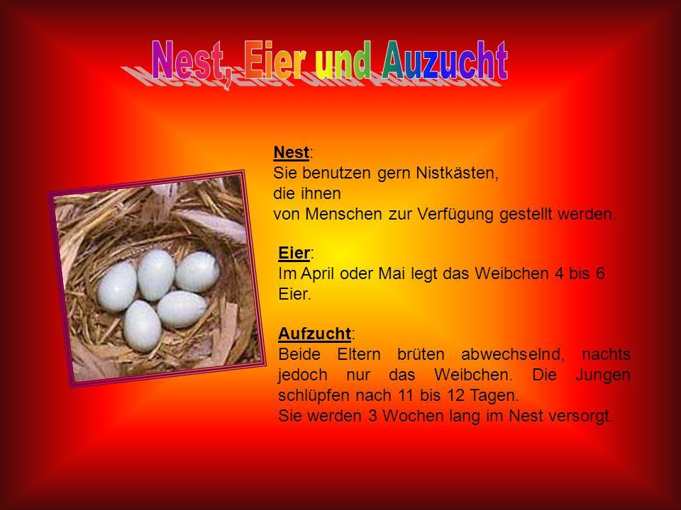 Nest: Sie benutzen gern Nistkästen, die ihnen von Menschen zur Verfügung gestellt werden. Eier: Im April oder Mai legt das Weibchen 4 bis 6 Eier. Aufz