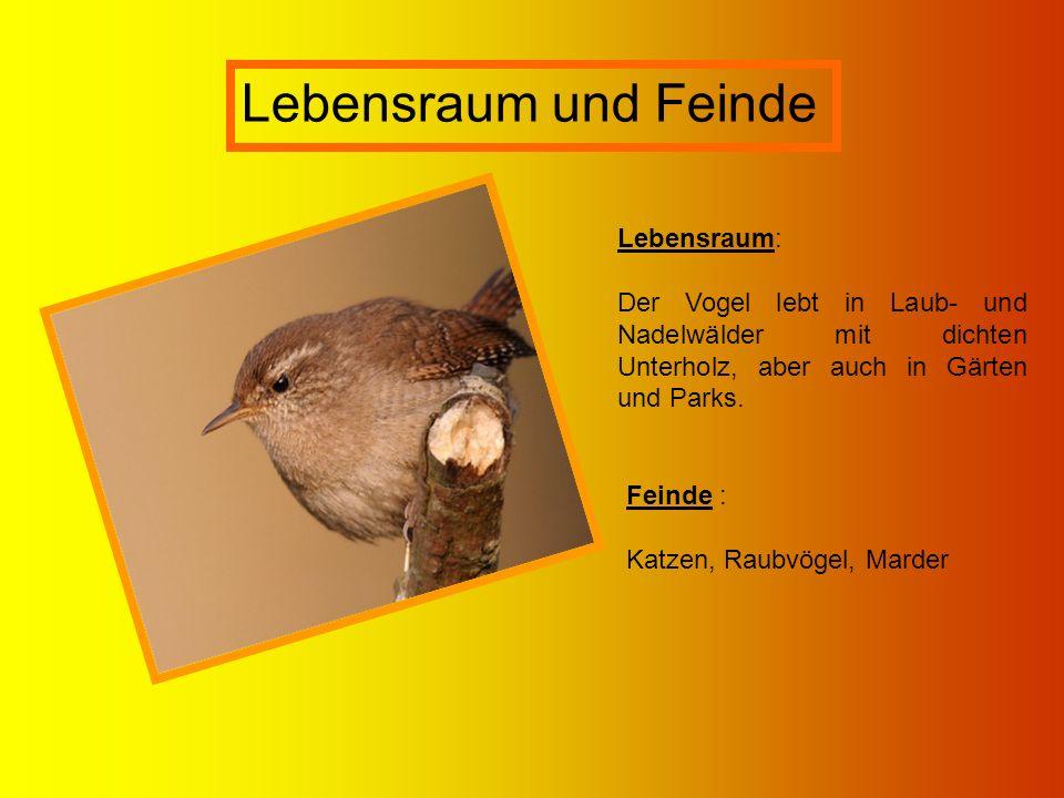 Lebensraum und Feinde Lebensraum: Der Vogel lebt in Laub- und Nadelwälder mit dichten Unterholz, aber auch in Gärten und Parks. Feinde : Katzen, Raubv