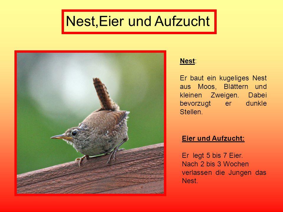 Nest,Eier und Aufzucht Nest: Er baut ein kugeliges Nest aus Moos, Blättern und kleinen Zweigen. Dabei bevorzugt er dunkle Stellen. Eier und Aufzucht: