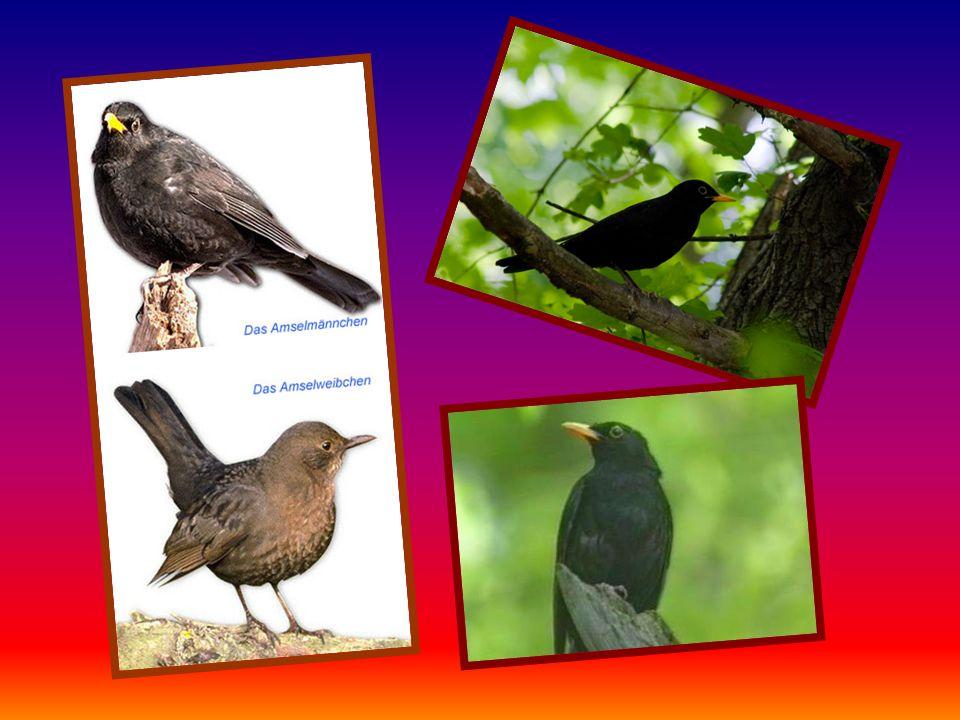 Nahrung: Er lebt zwar hauptsächlich von Samen und Insekten, aber Getreidekörner und junge Gemüsepflanzen vertilgt er besonders gern.