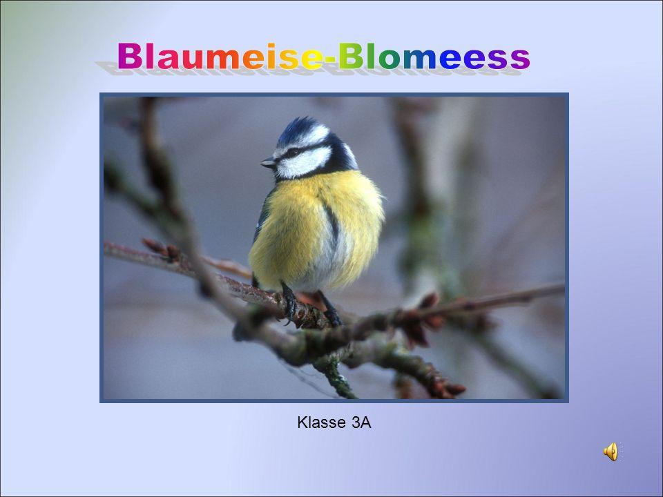 Lebensraum und Feinde Lebensraum: Der Vogel lebt in Laub- und Nadelwälder mit dichten Unterholz, aber auch in Gärten und Parks.