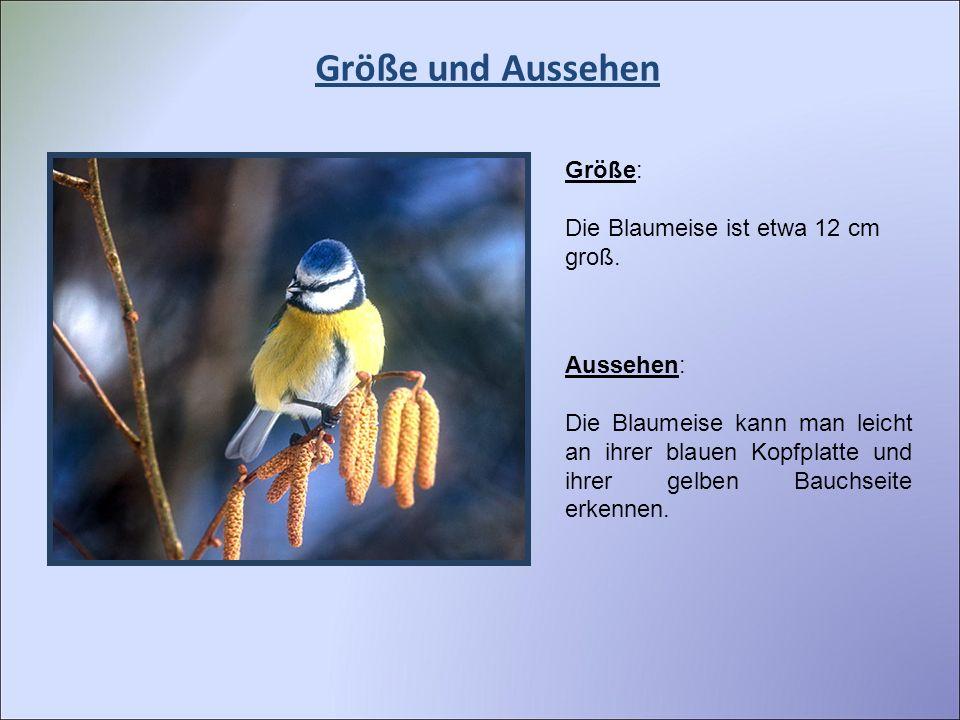Größe und Aussehen Größe: Die Blaumeise ist etwa 12 cm groß. Aussehen: Die Blaumeise kann man leicht an ihrer blauen Kopfplatte und ihrer gelben Bauch