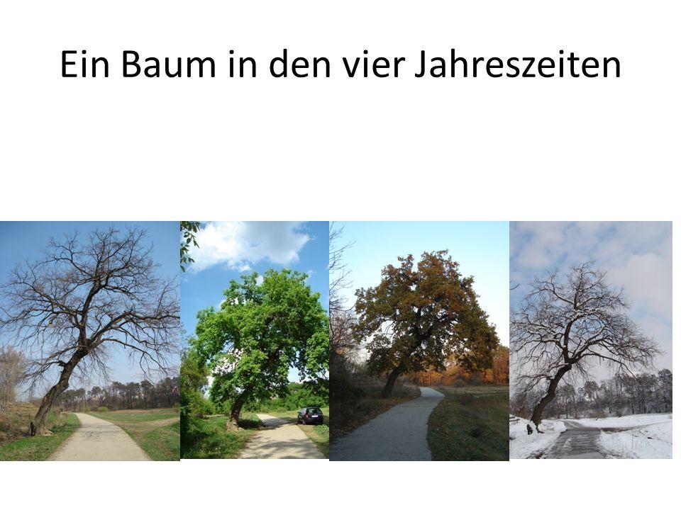 Ein Baum in den vier Jahreszeiten