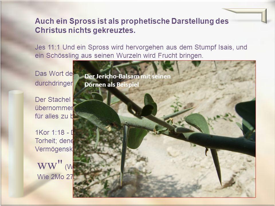 Auch ein Spross ist als prophetische Darstellung des Christus nichts gekreuztes. Jes 11:1 Und ein Spross wird hervorgehen aus dem Stumpf Isais, und ei