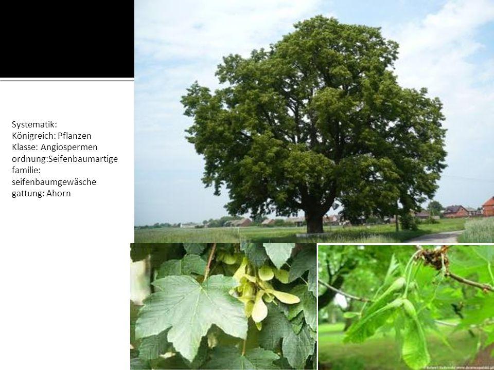 Systematik: Königreich: Pflanzen Klasse: Angiospermen ordnung:Seifenbaumartige familie: seifenbaumgewäsche gattung: Ahorn