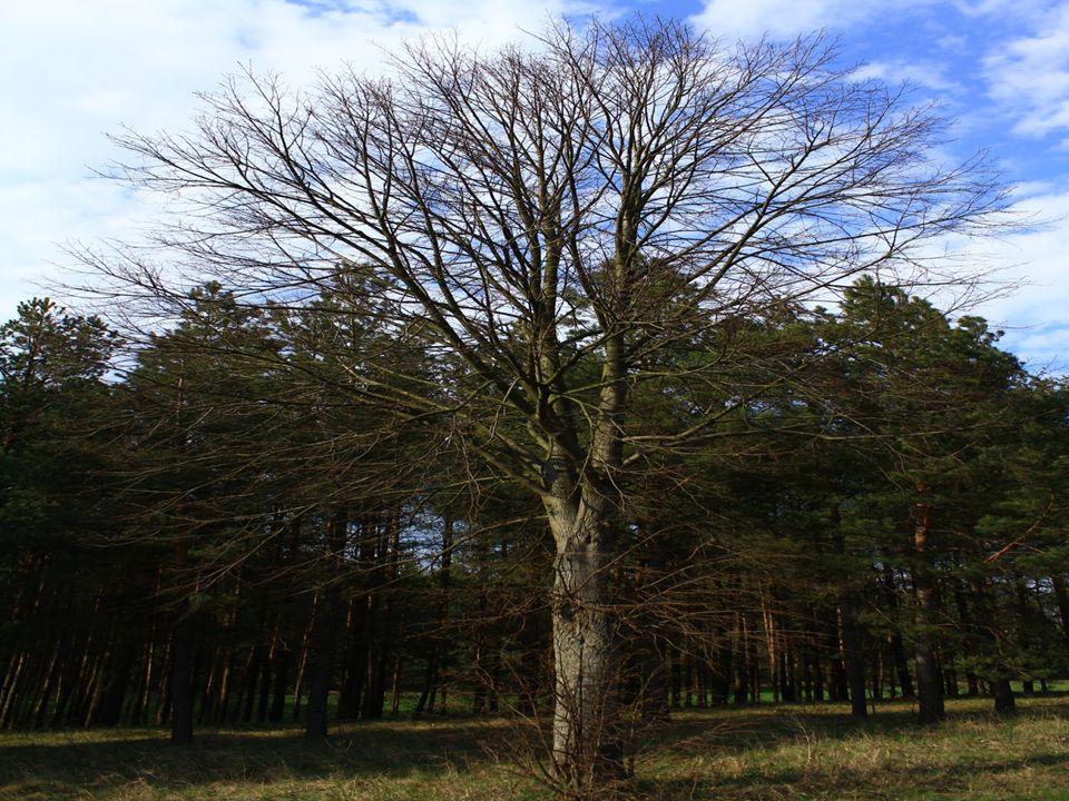 Eiche-ist eine Art von langlebigen Bäumen, die in der nördlichen Hemisphäre, in den gemäßigtes Klima Dazu gehören etwa 200 Arten.