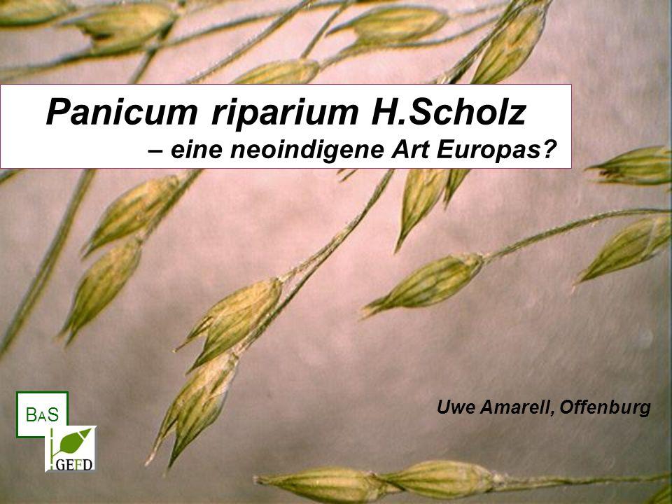 Panicum riparium H.Scholz – eine neoindigene Art Europas? Uwe Amarell, Offenburg BASBAS